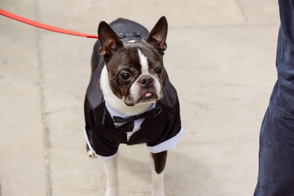 French bulldog wearing a dapper wedding suit